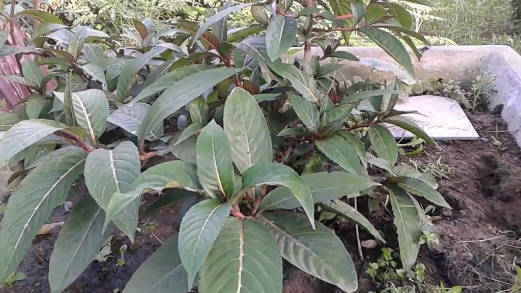 Cây Khôi tía phân bố nhiều ở nước ta