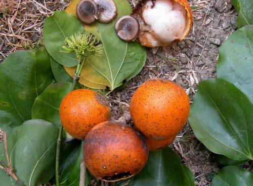 Tìm hiểu công dụng chữa bệnh từ cây Hoàng nàn