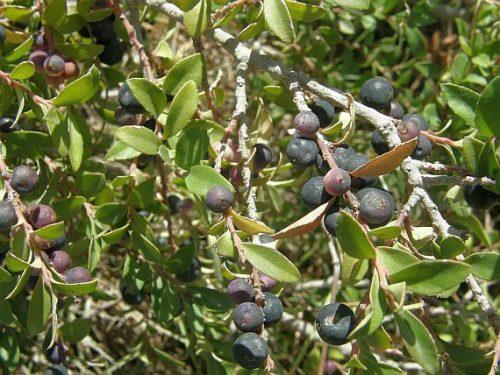 Canh châu là loại cây thường mọc hoang hay được trồng ở nước ta
