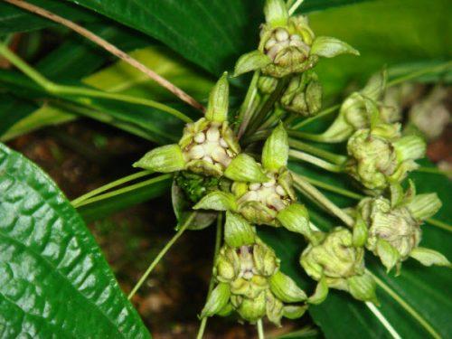 Tìm hiểu công dụng chữa bệnh đặc biệt từ cây Hồi đầu