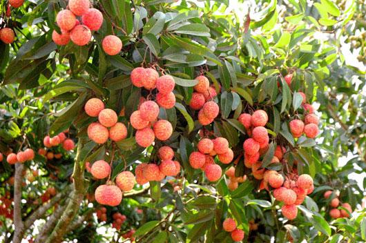 Vải được trồng khá phổ biến ở nước ta
